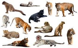Tiger och andra stora vildkatter Isolerat över vit arkivbild
