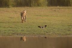Tiger och en fågel Arkivfoton