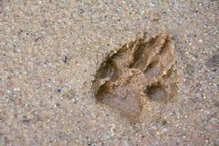 Tiger- oder Katzenfußschritt auf Schlamm Stockfotos
