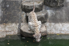 Tiger oder Tiger Laipadklan Lizenzfreie Stockfotografie