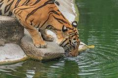 Tiger oder Tiger Laipadklan Stockbild