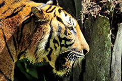 Tiger Of Sumatra Swimming In The Jungle Stock Photos
