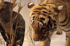 Tiger in Ontario museum Royalty Free Stock Photography