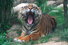 A tiger with open mouth. A dangerous tiger with open mouth Royalty Free Stock Photo