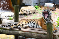 A tiger with open mouth Stock Photos