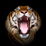 Tiger. Tiger Opens his mouth with drowsiness Royalty Free Stock Photos
