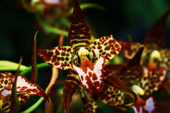 Tiger orchid royalty free stock images