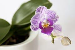 Tiger Orchid Imagem de Stock