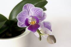 Tiger Orchid Imagem de Stock Royalty Free
