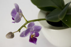 Tiger Orchid Fotografia de Stock