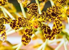 Tiger Orchid-Blume Lizenzfreies Stockbild