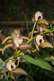 Tiger orchid on dark tone Stock Photo