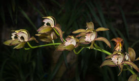 Tiger orchid on dark tone Stock Image