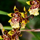 Tiger orchid flower Royalty Free Stock Image