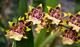 Tiger orchid flower Stock Photo