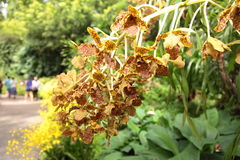 Tiger orchid flowers in Singapore Botanic Gardens. Royalty Free Stock Photos