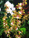 Tiger orchids Stock Image
