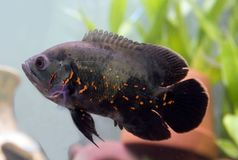 Tiger Oscar. Young Tiger Oscar Cichlid in Aquarium Royalty Free Stock Photos