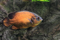 Tiger oscar. The tiger oscar also known as velvet cichlid Royalty Free Stock Image