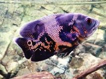 Tiger Oscar  . Beautiful fish in my aquarium. Oscar     tigeroscar  beautiful fish  aquarium tank water awua black red underwater animals pets royalty free stock photos