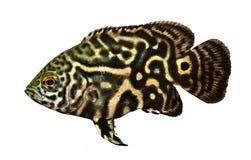 Tiger Oscar Cichlid aquarium fish Astronotus ocellatus. Fish royalty free stock image