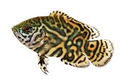 Tiger Oscar Cichlid Astronotus ocellatusakvariefisk arkivfoton