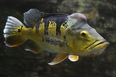 Tiger oscar fish. (Astronotus ocellatus) is a species of fish from the cichlid family known under a variety of common names including oscar, tiger oscar, velvet Royalty Free Stock Photo