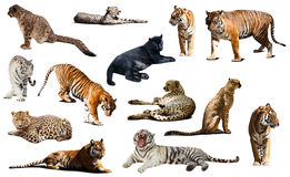 Tiger and other big wildcats. Isolated over white Stock Photography