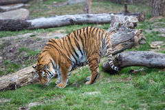 Tiger. A tiger out for a walk against some fallen trees Royalty Free Stock Images