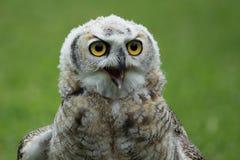 Tiger owl detail Stock Image