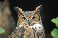 Tiger owl Stock Photos