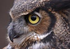 Tiger Owl Eye Fotografie Stock Libere da Diritti