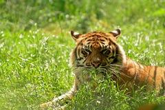 Tiger på den chester zoo Arkivfoton