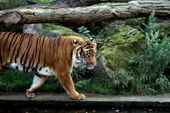 Tiger på den Prague zoo fotografering för bildbyråer