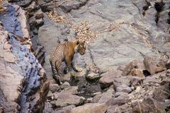 Tiger på den Ranthambore nationalparken Arkivfoto