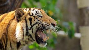 Tiger på den Songkla zoo Thailand Royaltyfri Fotografi