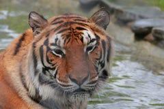 Tiger på det löst arkivbilder
