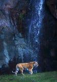 Tiger på en vattenfall Arkivfoto