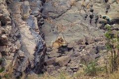 Tiger på en waterhole Arkivfoton