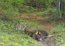Tiger på ett byte på maharashtraen för Tadoba tigerreserv, Indien arkivfoton