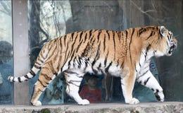 Tiger på kringstrykandet Royaltyfri Foto