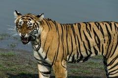 Tiger på Ranthambore Royaltyfria Bilder
