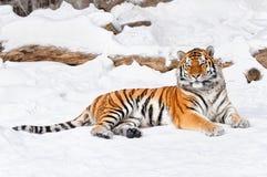 tiger på snöbakgrunden Royaltyfri Fotografi