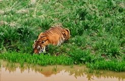 Tiger på strömmen som tar en drink royaltyfri foto