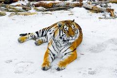 Tiger på vägen Arkivfoto