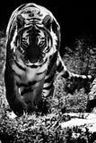 Tiger på vägen Arkivfoton