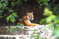 Tiger på zoo Arkivbilder