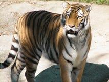 Tiger på zooen Royaltyfria Foton