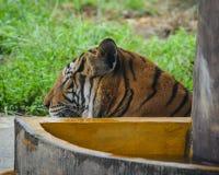 Tiger p? zooen royaltyfria foton
