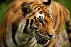 A tiger paces in its lair in horizontal. Closeup of a big cat Royalty Free Stock Photos